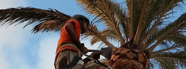 Las autorizaciones para la tala, trasplante y poda de palmeras en suelo urbano y turístico tendrán que solicitarse en los ayuntamientos