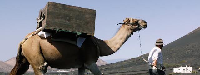 El Cabildo promueve la celebración de la 'Semana Cultural del Camello', como reconocimiento y puesta en valor de este animal y su vinculación con la historia del agro y el paisaje lanzaroteño