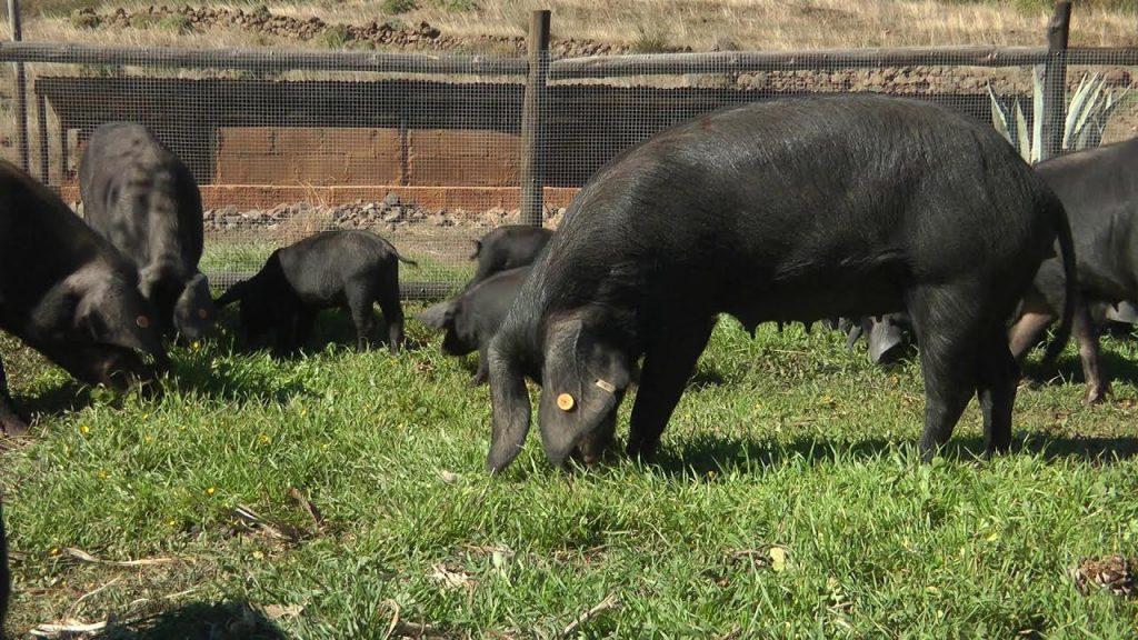 El Gobierno de Canarias convoca ayudas POSEI a la carne fresca de origen local por 2,28 millones de euros