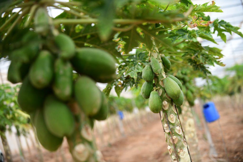 Canarias, pionera en nuevas tecnologías en el cultivo de papaya