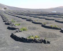Educación mantiene en Lanzarote el ciclo formativo de Vitivinicultura