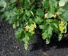 Lanzarote cierra la vendimia de 2020 con más de 1,3 millones kilos de uva