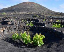 Las bodegas de Lanzarote comienzan a embotellar los vinos de la añada 2020