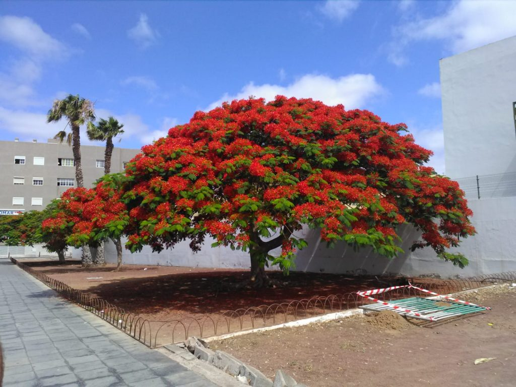 Un 'gigante en flor' en Arrecife