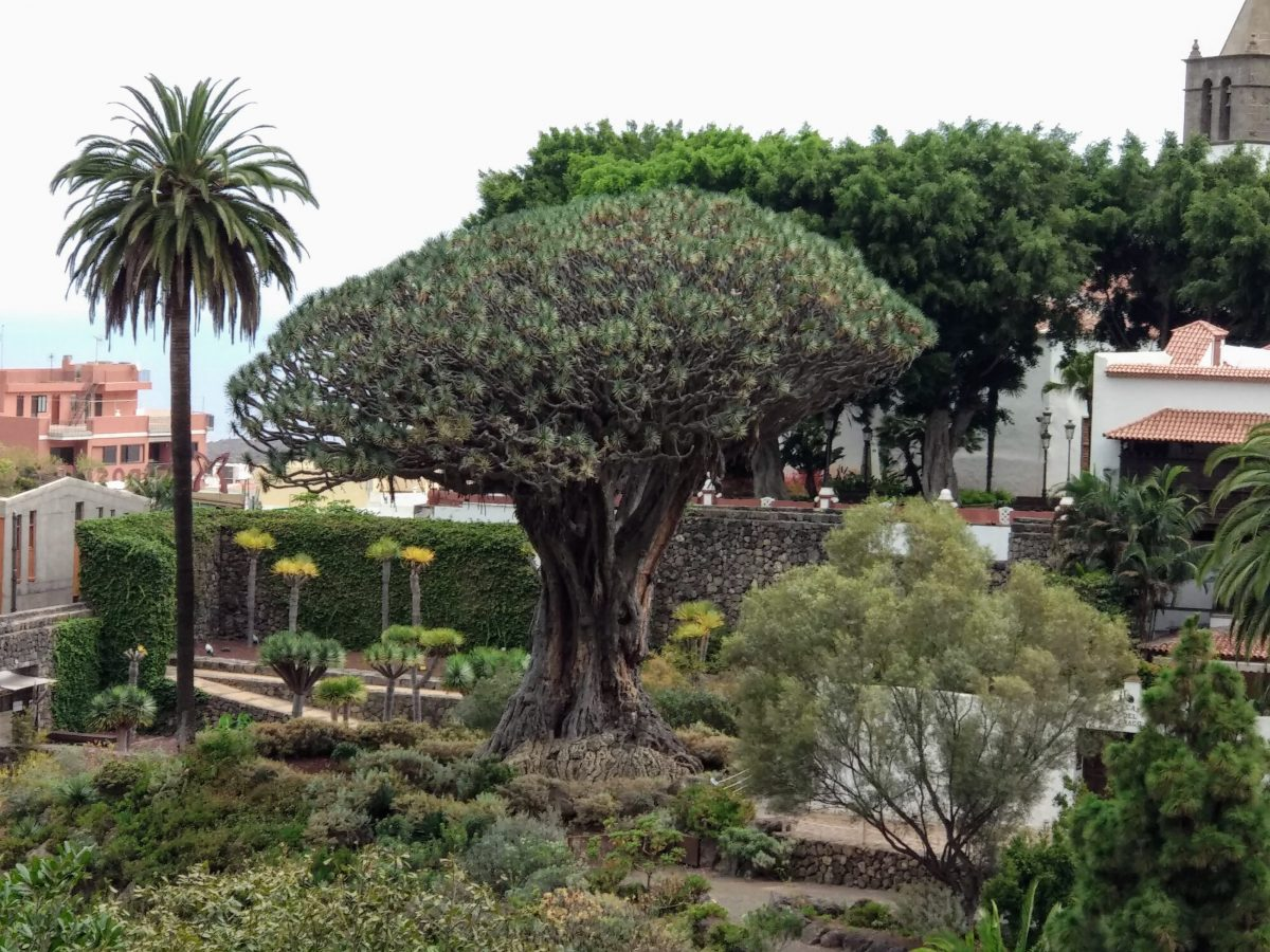 Transición Ecológica promueve la protección de los árboles singulares de Canarias a través de la formación