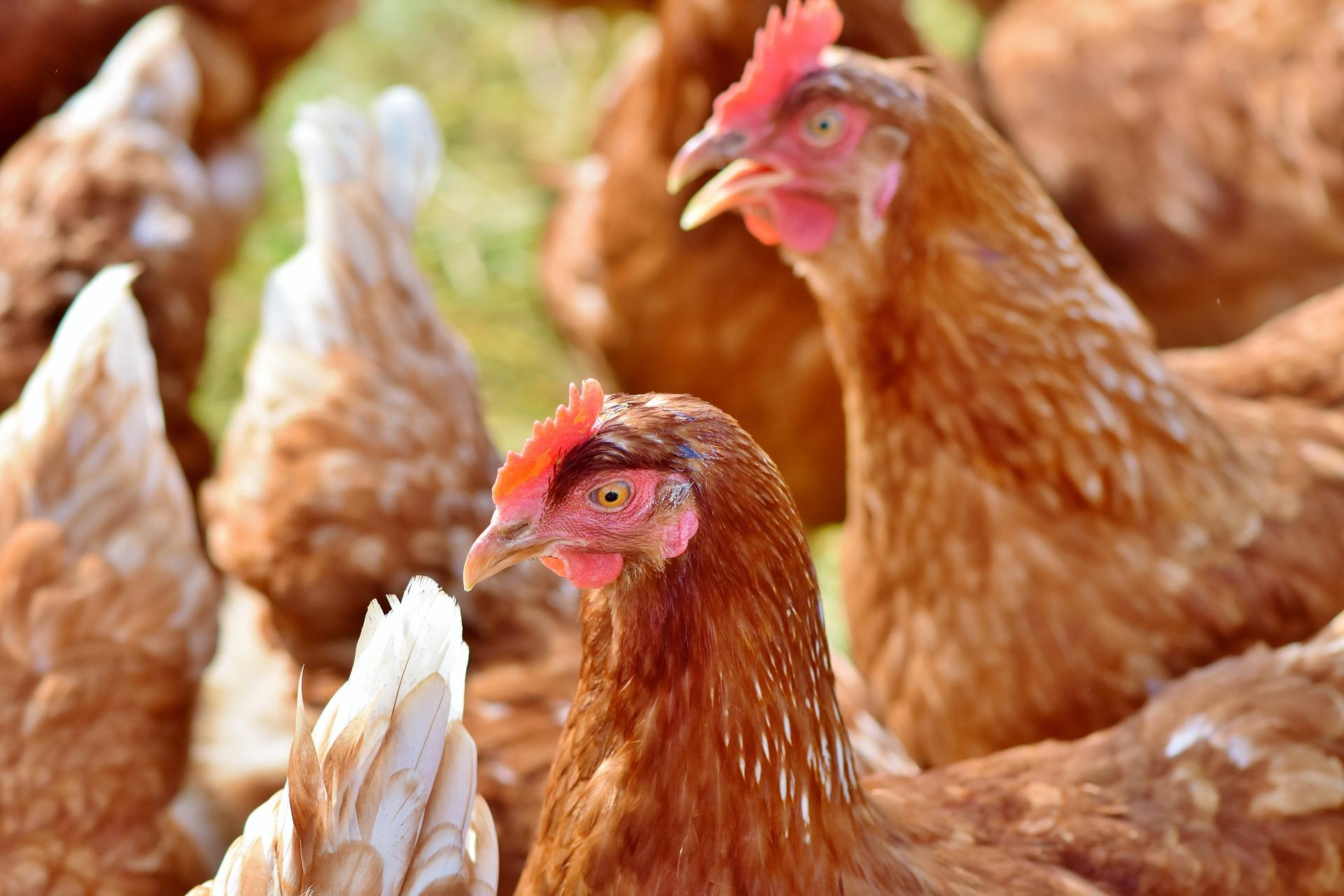 El Gobierno canario convoca ayudas para la producción de gallinas ponedoras