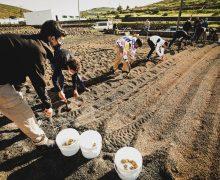 La Asociación de Papas de Los Valles prueba nuevas variedades en colaboración con los alumnos del IES Teguise