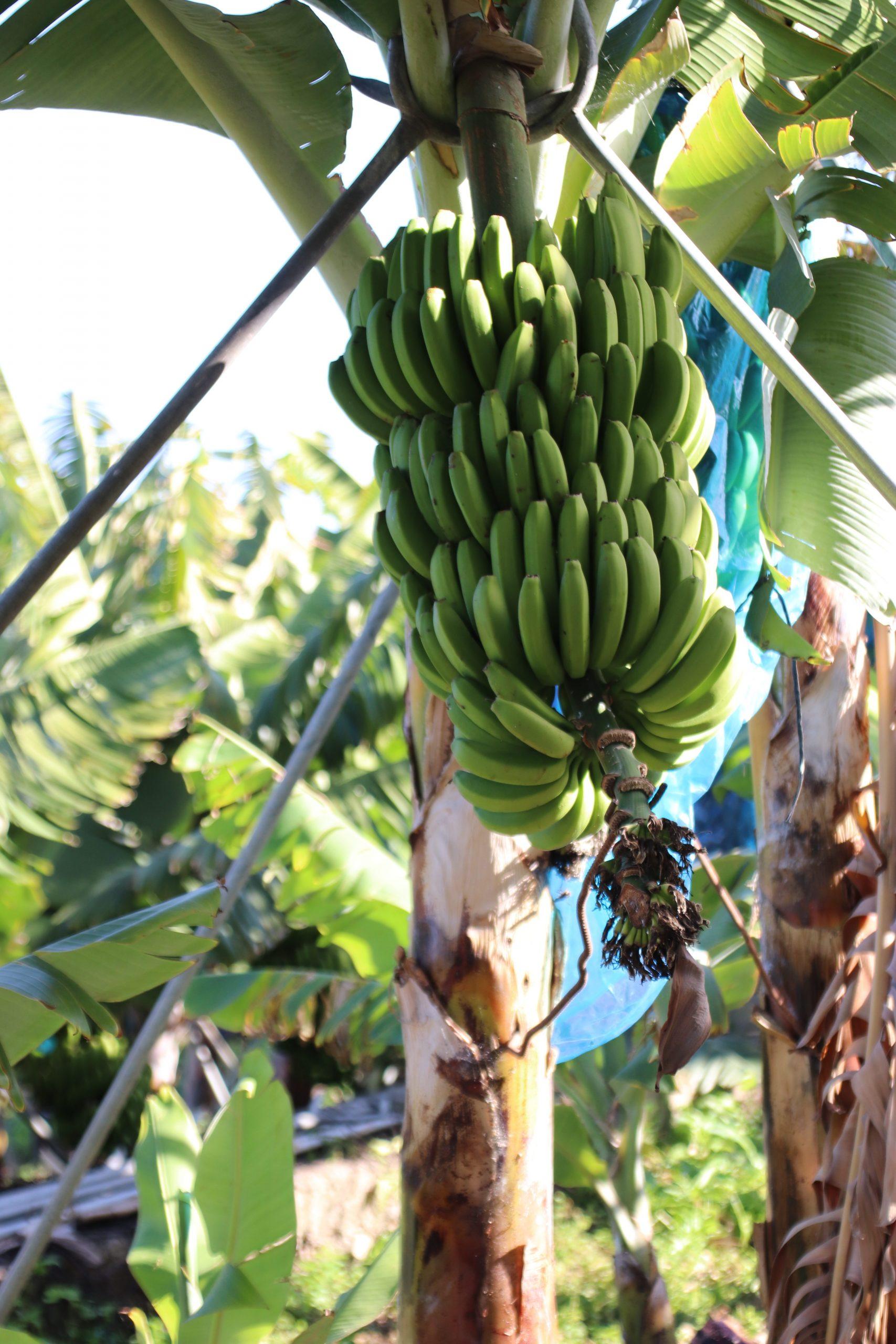 El Gobierno de Canarias abona 74,8 millones de euros a los productores de plátano con IGP y tomate de exportación