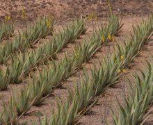 El Gobierno canario destina 83.000 euros a 31 productores de aloe vera, olivo y cochinilla con DOP