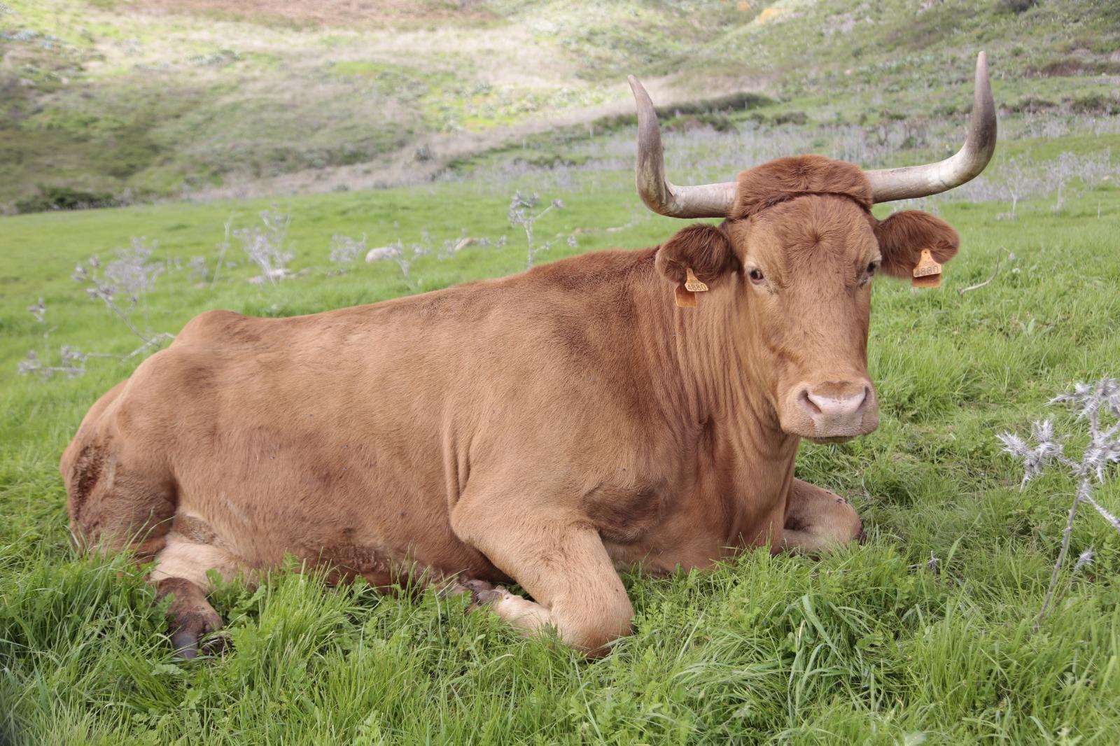 El Gobierno de Canarias destina 4,2 millones a financiar el sector bovino