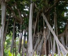 Transición Ecológica presenta el curso online 'Los árboles y arboledas singulares de Canarias'
