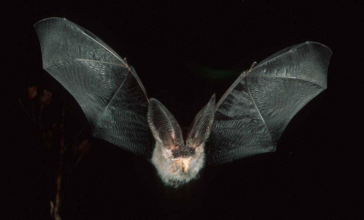 Transición Ecológica estudia los murciélagos de Canarias y la eficacia de las medidas de protección
