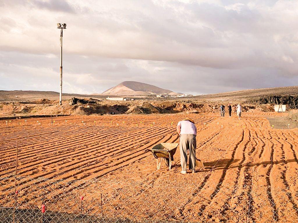 Comienza la siembra de cebollino en los canteros del Centro Agrotecnológico de Teguise