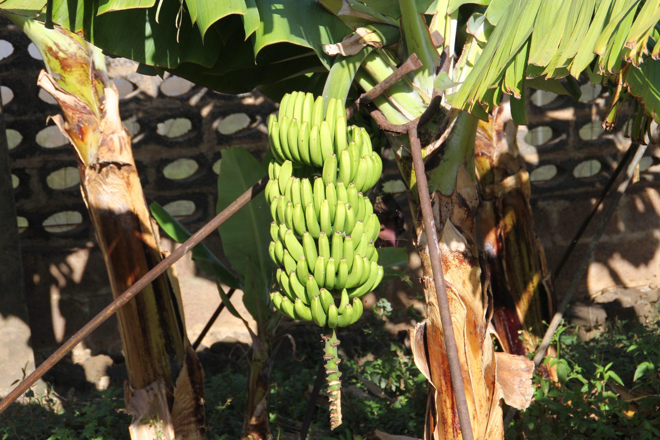 El Gobierno canario convoca la ayuda a los productores de plátano con IGP