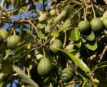 Los agricultores podrán usar fitosanitarios a base de spirotetramat 10% contra la cochinilla del aguacate